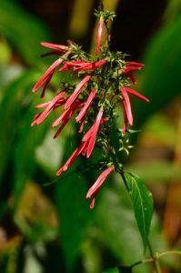 Le Radié du sang (Justicia secunda)<br> Le Canal de Beauregard<br> Parc Naturel Régional de La Martinique