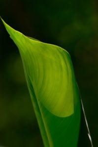 Le Balisier rouge (Heliconia caribaea)<br> Le Canal de Beauregard<br> Parc Naturel Régional de La Martinique