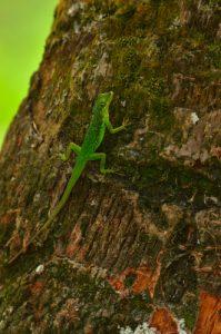 L'Anolis (Anolis roquet) <br> Le Canal de Beauregard<br> Parc Naturel Régional de La Martinique