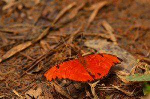 Le papillon Flamme (Dryas iulia martinica)<br> La Trace des Jésuites<br> Parc Naturel Régional de La Martinique