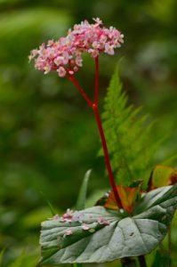 L'Oseille bois (Begonia obliqua) est endémique des Petites Antilles<br> La Trace des Jésuites<br> Parc Naturel Régional de La Martinique