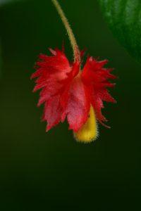 Crête à Coq ou Fuchsia sauvage (Alloplectus cristatus)<br> La Trace des Jésuites<br> Parc Naturel Régional de La Martinique