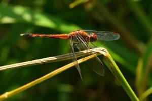Libellule (Erythrodiplax numbrata) ?<br> La Trace Atlantique Nord de Vivé<br> Parc Naturel Régional de La Martinique