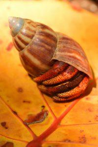 Bernard-L'Ermite (Coenobita clypeatus)<br> La Trace Atlantique Nord de Vivé<br> Parc Naturel Régional de La Martinique