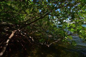 La Mangrove de Palétuviers rouges (Rhizophora mangle)<br> La Presqu'île de La Caravelle<br> Parc Naturel Régional de La Martinique