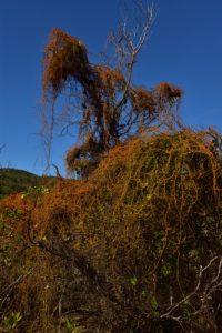 Les Cordes à violon (Cuscuta americana)<br> La Presqu'île de La Caravelle<br> Parc Naturel Régional de La Martinique