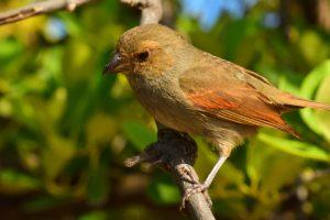 Le Scorophile rougegorge femelle (Loxigilla noctis)<br> La Presqu'île de La Caravelle<br> Parc Naturel Régional de La Martinique
