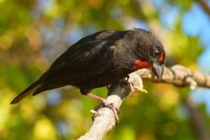 Le Sporophile rougegorge mâle (Loxigilla noctis)<br> La Presqu'île de La Caravelle<br> Parc Naturel Régional de La Martinique