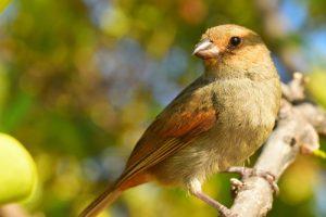 Le Sporophile rougegorge femelle (Loxigilla noctis)<br> La Presqu'île de La Caravelle<br> Parc Naturel Régional de La Martinique