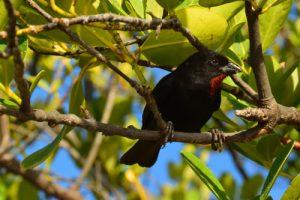 Le Scorophile rougegorge mâle (Loxigilla noctis)<br> La Presqu'île de La Caravelle<br> Parc Naturel Régional de La Martinique