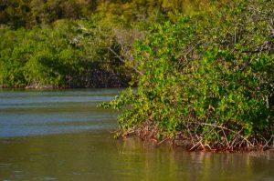 Le Palétuvier rouge (Rhizophora mangle)<br> La Presqu'île de La Caravelle<br> Parc Naturel Régional de La Martinique