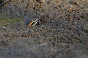 """Le Crabe Violoniste ou """"Sémafot"""" (Uca rapax)<br> La Presqu'île de La Caravelle<br> Parc Naturel Régional de La Martinique"""
