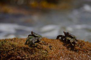 Le Crabe zagaya (Grapsus grapsus)<br> Le sentier littoral de Sainte-Luce<br> Parc Naturel Régional de La Martinique