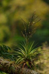Épiphyte de la Forêt Hygrophile (Forêt tropicale humide)<br> Chemin Prêcheur - Grand'Rivière<br> Parc Naturel Régional de La Martinique