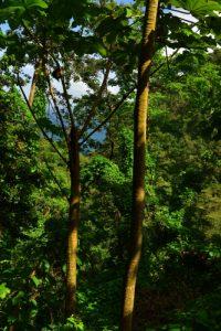 Forêt Hygrophile (Forêt tropicale humide)<br> Chemin Prêcheur - Grand'Rivière<br> Parc Naturel Régional de La Martinique