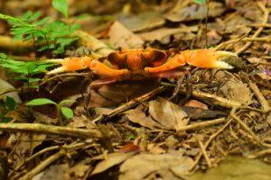 Le Crabe Cirique de rivière (Guinotia dentata)<br> Chemin Prêcheur - Grand'Rivière<br> Parc Naturel Régional de La Martinique