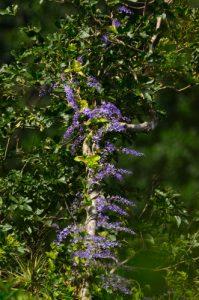 La Liane rude (Petrea kohautiana)<br> Forêt Hygrophile (Forêt tropicale humide)<br> Chemin Prêcheur - Grand'Rivière<br> Parc Naturel Régional de La Martinique