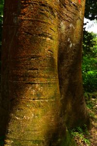 Le Courbaril (Hymenaea courbaril)<br> Forêt Hygrophile (Forêt tropicale humide)<br> Chemin Prêcheur - Grand'Rivière<br> Parc Naturel Régional de La Martinique
