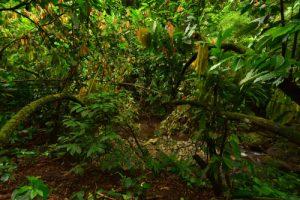 Le Cacaoyer (Theobroma cacao)<br> Chemin de Cascade Couleuvre<br> Parc Naturel Régional de La Martinique
