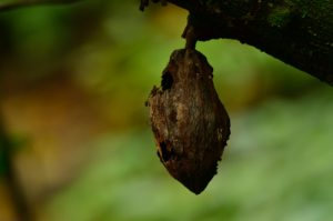 """Fruit ou """"Cabosse"""" du Cacaoyer (Theobroma cacao)<br> Chemin de Cascade Couleuvre<br> Parc Naturel Régional de La Martinique"""