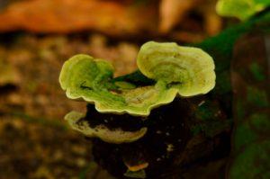 Champignon de la Forêt Hygrophile (Forêt tropicale humide)<br> Chemin de Cascade Couleuvre<br> Parc Naturel Régional de La Martinique