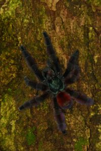 La Mygale arboricole Matoutou (Avicularia versicolor)<br> Chemin de Cascade Couleuvre<br> Parc Naturel Régional de La Martinique