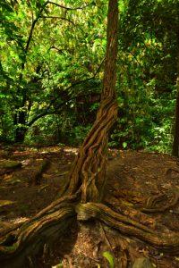 La Liane &amp; l'Arbre de la Forêt Hygrophile (Forêt tropicale humide)<br> Chemin de Cascade Couleuvre<br> Parc Naturel Régional de La Martinique