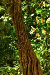 Liane de la Forêt Hygrophile (Forêt tropicale humide)<br> Chemin de Cascade Couleuvre<br> Parc Naturel Régional de La Martinique