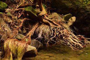 Racines enchevêtrées dans la Forêt Hygrophile (Forêt tropicale humide)<br> Chemin de Cascade Couleuvre<br> Parc Naturel Régional de La Martinique