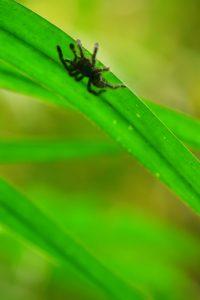 Bébé Mygale arboricole Matoutou (Avicularia versicolor)<br> Chemin de Cascade Couleuvre<br> Parc Naturel Régional de La Martinique