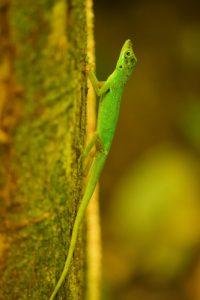 L'Anolis (Anolis roquet)<br> Chemin de Cascade Couleuvre<br> Parc Naturel Régional de La Martinique