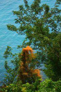 Les Cordes à violon (Cuscuta americana)<br> Chemin de Cascade Couleuvre<br> Parc Naturel Régional de La Martinique