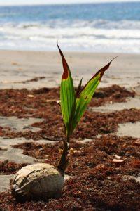 Cocotier (Cocos nucifera)<br> Anse à Voile<br> Parc Naturel Régional de La Martinique