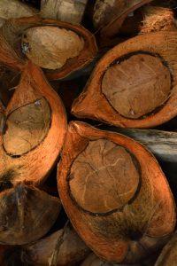 Noix de Coco du Cocotier (Cocos nucifera)<br> Anse à Voile<br> Parc Naturel Régional de La Martinique