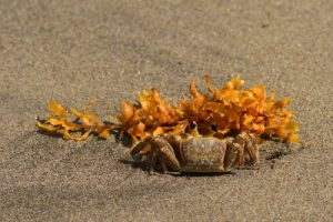 """Le Crabe """"Mal zoreille"""" ou Crabe """"Fantôme atlantique"""" (Ocypode quadrata)<br> Anse à Voile<br> Parc Naturel Régional de La Martinique"""