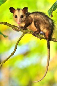 Le Manicou ou Opossum commun (Didelphis marsupialis)<br> Anse Lévrier<br> Parc Naturel Régional de La Martinique