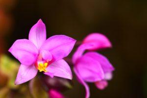 L'Orchidée Spathoglottis (Spathoglottis plicata)<br> La Montagne Pelée<br> Parc Naturel Régional de La Martinique