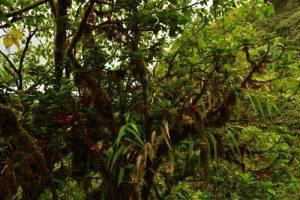 Le Fuchsia montagne (Charianthus nodosus)<br> Parc Naturel Régional de La Martinique