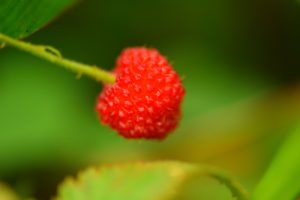 La Framboise (Rubus rosifolius)<br> La Montagne Pelée<br> Parc Naturel Régional de La Martinique