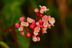 L'Oseille bois (Begonia obliqua)<br> La Montagne Pelée<br> Parc Naturel Régional de La Martinique