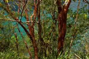 Le Gommier rouge (Bursera simaruba)<br> Forêt xérophile du Site Naturel Protégé d'Anse Mathurin - Anse Bellay<br> Parc Naturel Régional de La Martinique