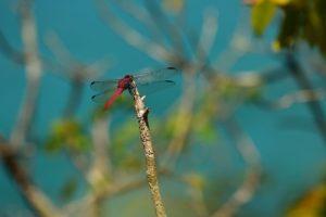 Libellule du genre Orthémis (Orthemis macrostigma)<br> Le Site Naturel Protégé d'Anse Mathurin - Anse Bellay<br> Parc Naturel Régional de La Martinique