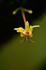 Fleur du Cacaoyer (Theobroma cacao)<br> Chemin de Cascade Couleuvre<br> Parc Naturel Régional de La Martinique
