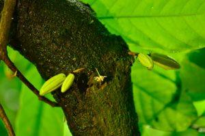 """Fruit ou """"Cabosse"""" du Cacaoyer (Theobroma cacao)<br> Chemin de la Cascade Couleuvre<br> Parc Naturel Régional de La Martinique"""