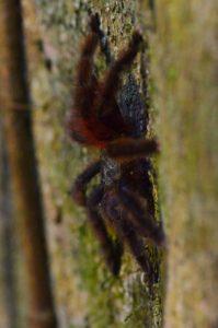 La Mygale arboricole Matoutou (Avicularia versicolor)<br> Chemin de la Cascade Couleuvre<br> Parc Naturel Régional de La Martinique