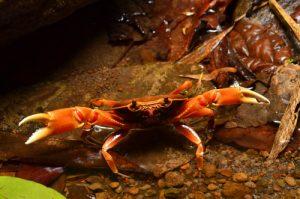 Le Crabe Cirique de rivière (Guinotia dentata)<br> Chemin de la Cascade Couleuvre<br> Parc Naturel Régional de La Martinique