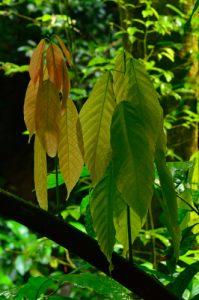 Cacaoyer (Theobroma cacao)<br> Chemin de la Cascade Couleuvre<br> Parc Naturel Régional de La Martinique