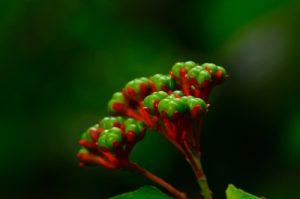 Arbrisseaux du genre Clerodendrum (Clerodendrum buchanani)<br> Chemin de la Cascade Couleuvre<br> Parc Naturel Régional de La Martinique