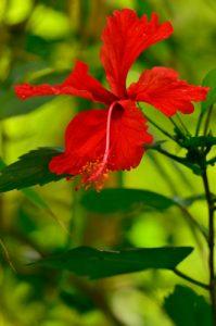 L'hibiscus Rose de Chine (Hibiscus rosa-sinensis)<br> Anse des Galets<br> Parc Naturel Régional de La Martinique