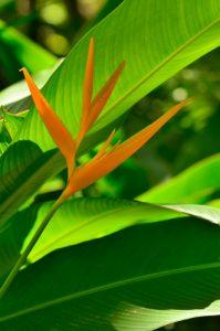 Le Balisier Bec de perroquet (Heliconia Psittacorum)<br> Anse des Galets<br> Parc Naturel Régional de La Martinique